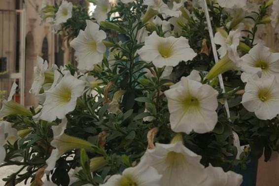 Foto Ortigia in fiore