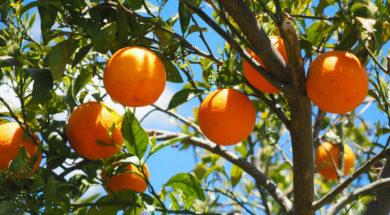 Arance di sicilia( ph. tratta dal web)